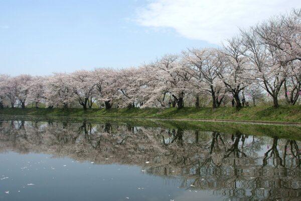 桜の名所としても有名なつくばみらい市の福岡堰
